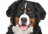 Bernese Mountain Dogs