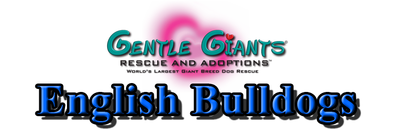 English Bulldogs at Gentle Giants Rescue and Adoptions